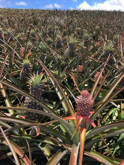 Baby pink pineapple Pink Pineapple Field Small Pineapple Farm Healthy Eating Growth Plant Field Nature Outdoors Day No People Beauty In Nature Flower Close-up Freshness