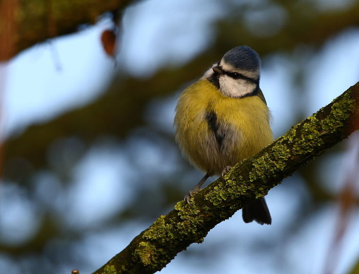 Close-up of blue tit perching on tree