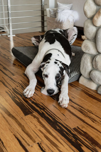 A very cute sad great dane dog laying on his bed over bamboo hardwood flooring.