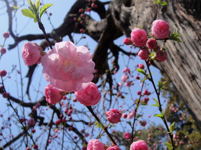 Pink cherry blossoms Beauty In Nature Blooming Branch Branches And Leaves Close-up Day Flower Flower Head Fragility Freshness Growth Nature No People Outdoors Petal Pink Cherry Blossoms Pink Color Plant Plum Blossom Tree