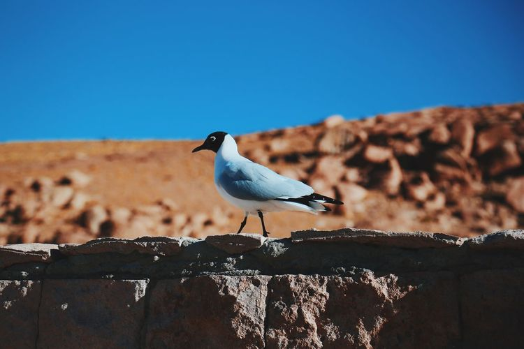 Side View Of Black-Headed Gull Perching On Retaining Wall Against Clear Blue Sky