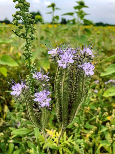 Phacelia Flower Head Field