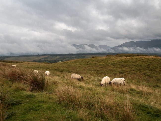 Sheeps and aries, Highlands, Valley of Fort William, Scotland Animal Themes Aries Cloud Cloud - Sky Clouds Clouds And Sky Domestic Animals Domestic Cattle Field Grass Grazing Green Herbivorous Highlands Landscape Mammal Mountain Mountain Range Nature Pasture Scenics Sheep Sky Tranquil Scene Tranquility