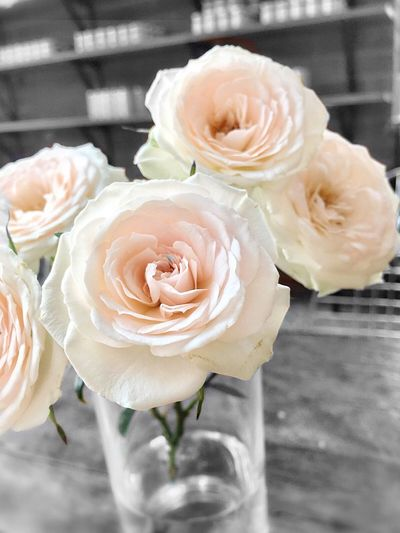 Flower Flower Head Rose - Flower Petal Freshness Fragility Indoors  White Color Close-up No People Nature Day Beauty In Nature