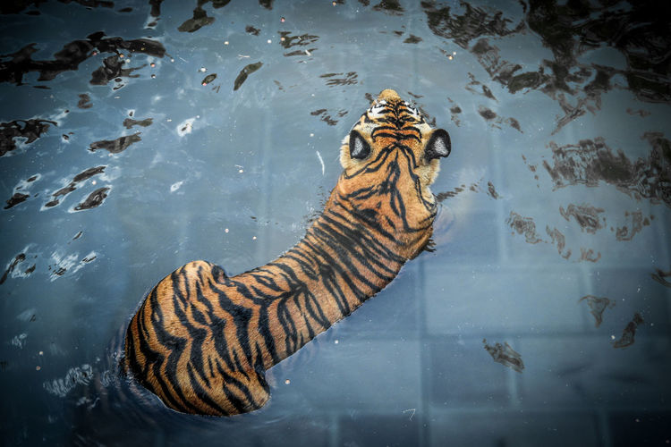 High angle view of tiger swimming in lake