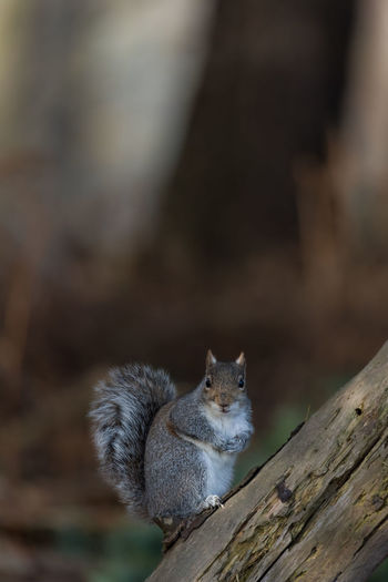 Close up of a common Eastern Gray Squirrel feeding perched on a tree log. Bushy Tail Looking At Camera Animal Themes Animal Wildlife Animals In The Wild Close Up Close-up Day Eastern Gray Squirrel Fur Gray Squirrel Grey Squirrel Mammal Nature One Animal Outdoors Squirrel Wood - Material