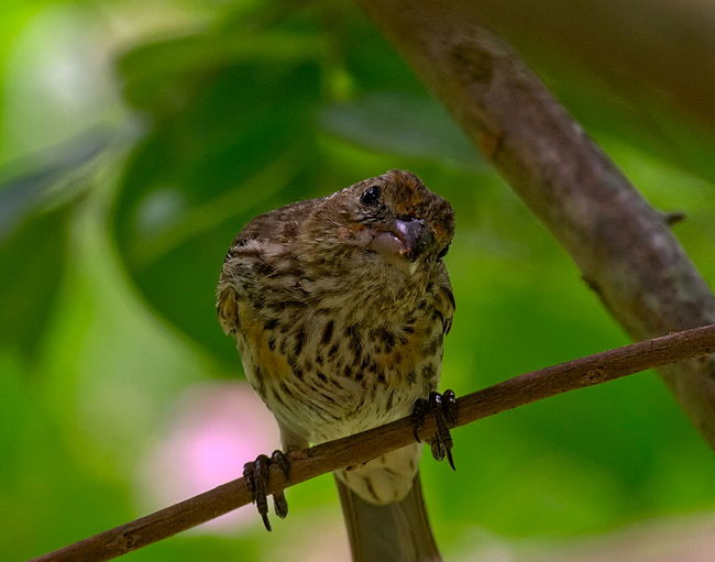 Cow Bird Bird Photography Animal Animal Themes Animal Wildlife Animals In The Wild Beauty In Nature Bird Bird Of Prey Birds Branch Close-up Cow Bird Day Focus On Foreground Nature No People One Animal Outdoors Perching Plant Sparrow Tree Twig Vertebrate