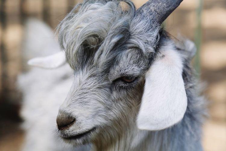 Goat Zoo
