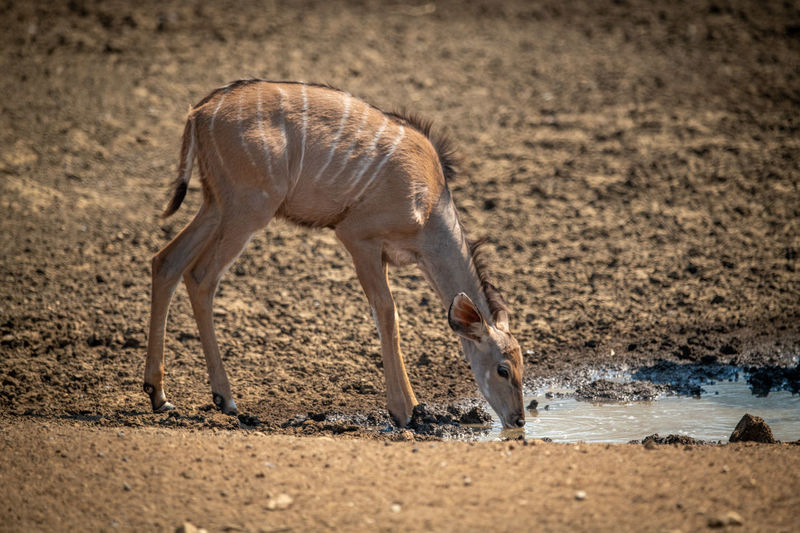Female greater kudu stands drinking at waterhole