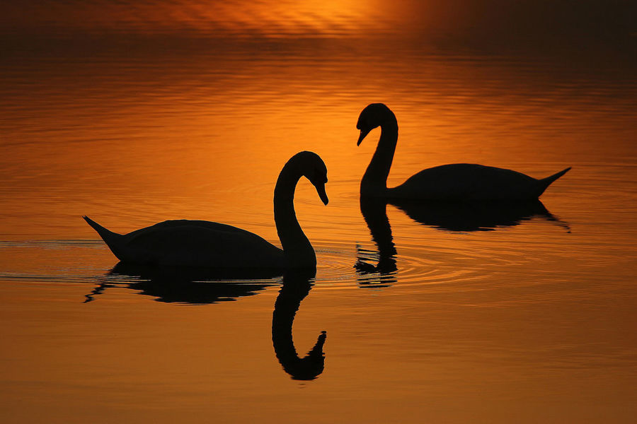 Animal Themes Animals In The Wild Aquatic Bird Light No People Outdoors Reflection Romantic, Silhouette Sunrise Sunset, Swan Water Water Bird Wildlife First Eyeem Photo