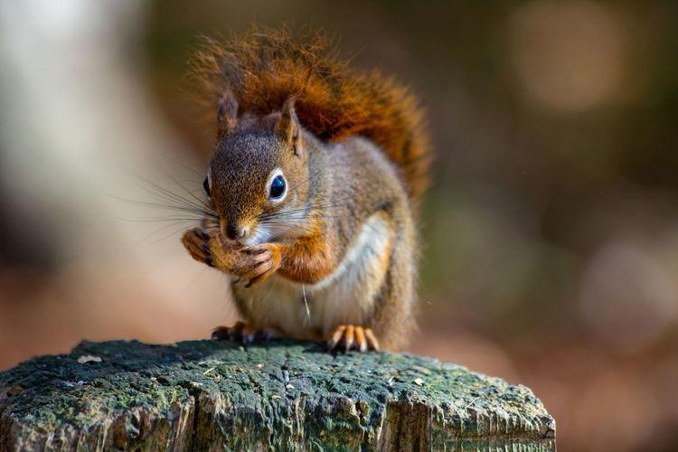 Close-up of squirrel on tree stump