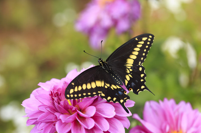 Close-Up Of Butterfly On Pink Dahlia