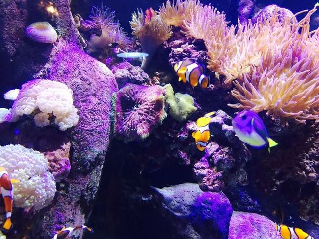 Aquarium Nemo Underwater Coral Sea Life UnderSea Animal Themes Multi Colored Purple Fish Sea Anemone