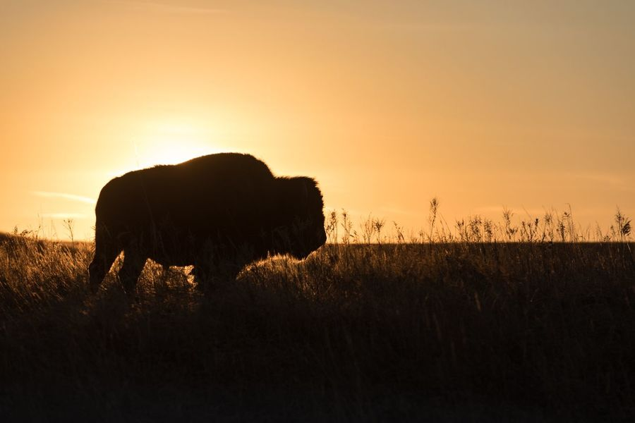There are still places where Bison roam free and the land is open as far as the eye can see. Golden Western West Prairie Americana Bison Buffalo Sunset Silhouette Mammal Animal Themes Nature Field Scenics Tranquil Scene Beauty In Nature Animals In The Wild Grass Landscape One Animal No People Outdoors Sky Tranquility
