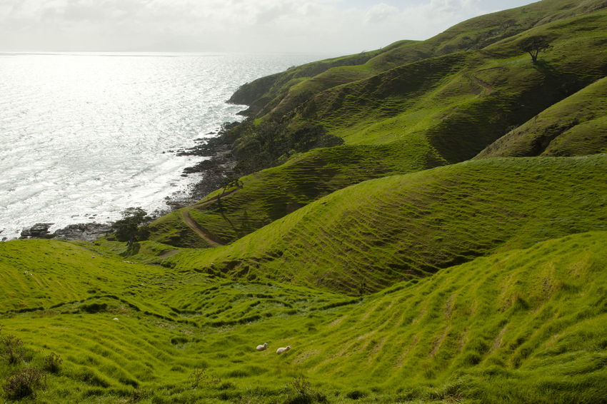 Sheep Pasture - Port Jackson - New Zealand Green NZ Port Jackson Coast Fence Green Grass New Zealand Sheep Pasture