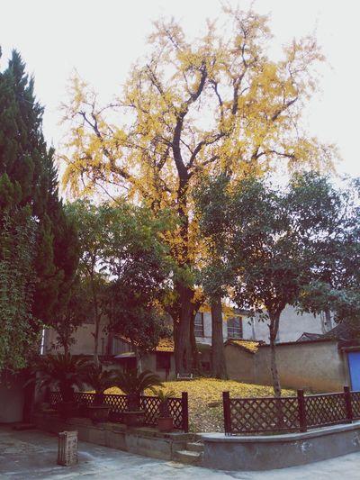 Tree 银杏 阳光甚好 SO COLD Lifestyles
