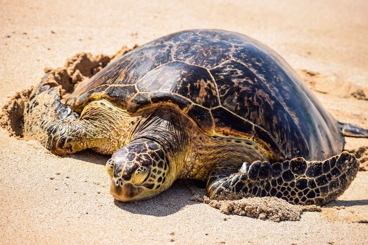 EyeEm Selects Tortoise Reptile Tortoise Shell Animal Shell Turtle Animal Wildlife Day Sand Sunlight One Animal Outdoors Nature Animals In The Wild Sea Turtle No People Animal Themes Close-up Oahu, Hawaii