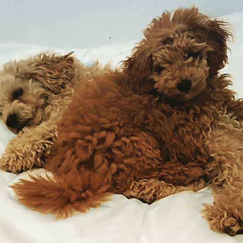 Jesse 🐶 Puppy Toypoodles Dogs Animals Toy Poodle,