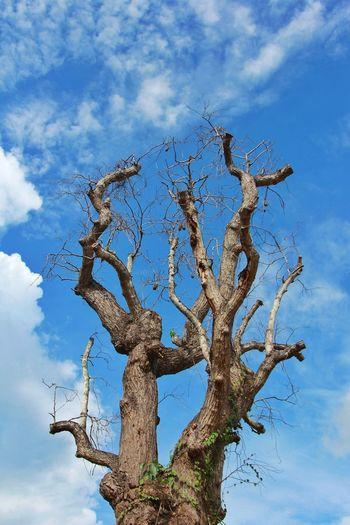 Dead Tree Blue Sky Background Sky Branch Sky Only Tree Trunk Woods Bare Tree Woodpecker