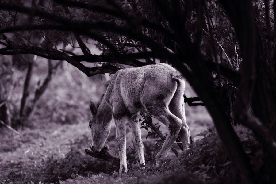 Foal In The Woods Monochrome B&W Magic Blackandwhite Animal Themes Mammal One Animal Animals In The Wild Tree No People Outdoors Day Nature Forest Full Length
