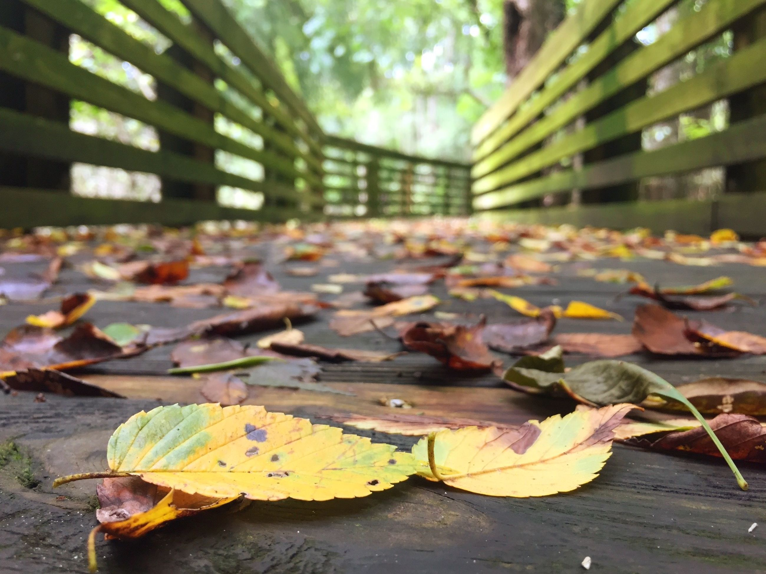 autumn, leaf, change, leaves, fallen, dry, season, street, animal themes, outdoors, day, nature, bird, falling, sidewalk, no people, maple leaf, selective focus, focus on foreground, orange color