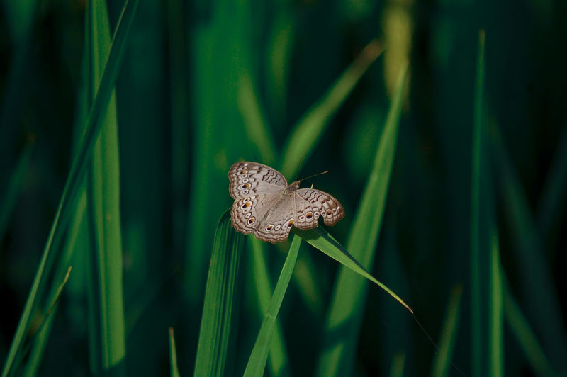 beautiful butterflay Animal Animal Themes Animal Wildlife Animal Wing Animals In The Wild Beauty In Nature Blade Of Grass Butterfly Butterfly - Insect Close-up Day Grass Green Color Growth Insect Invertebrate Leaf Nature No People One Animal Plant Plant Part EyeEmNewHere A New Beginning