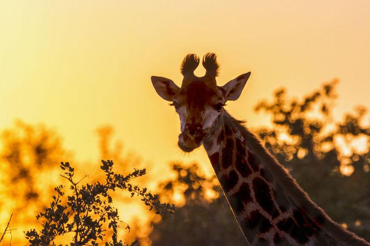 Giraffe standing on land during sunset