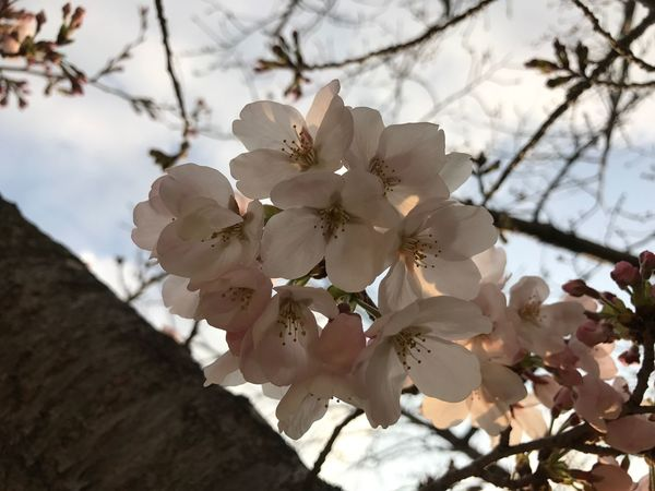 🌸🌸Cherry blossoms🌸🌸 Tree Nature Growth Beauty In Nature Flower Close-up Fragility Twig Outdoors Blossom Branch No People Day Sky Iphone7 EyeEm Gallery EyeEm Best Shots Love Japan Cherry Blossoms Fukuoka Happy Nature 3月 Springtime