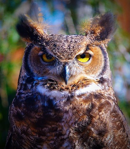 Close-Up Portrait Of Spotted Eagle Owl