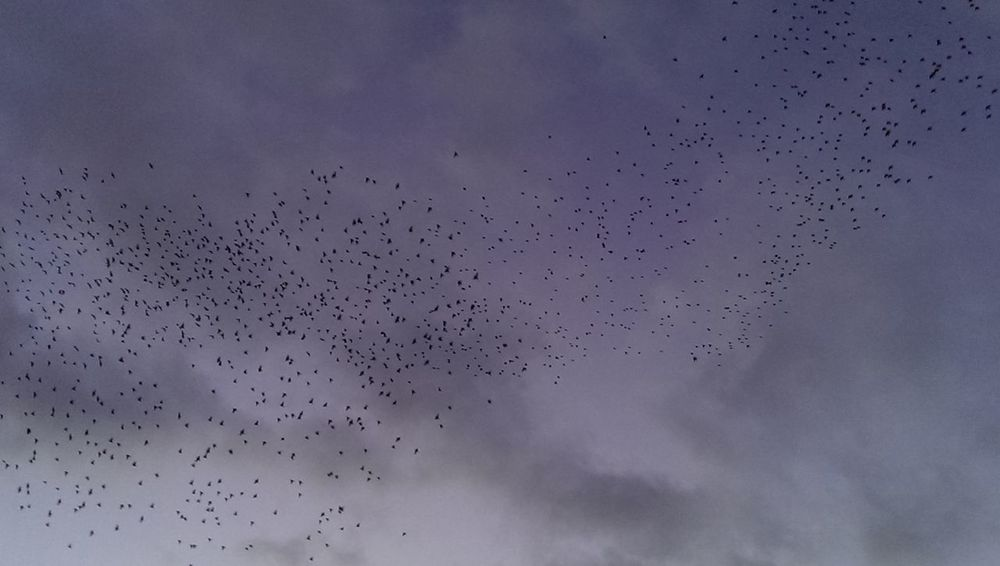 Avian Beauty In Nature Bird Cloud Cloud - Sky Cloudy Day Flock Of Birds Flying Focus On Foreground Low Angle View Migrating Murmuration Nature No People Outdoors Overcast Scenics Sky Spread Wings Starlings Starlings Putting Up A Show Tranquil Scene Tranquility Wildlife