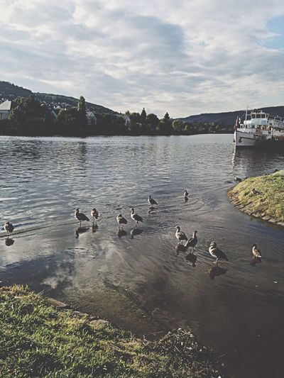 Bernkastel Kues Ducks Mosel Clouds And Sky
