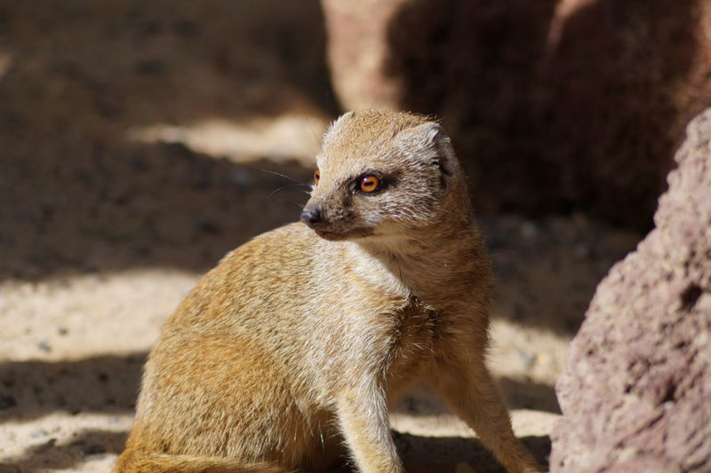 Mongoose By Rock On Field