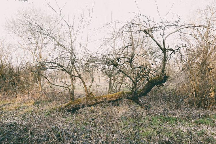 Dead Tree Bare