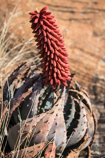 Flowering aloe, Magaliesburg ranges, South Africa #aloe #flower  #southafrica #succulent #unique Beauty In Nature Close-up No People Outdoors Red