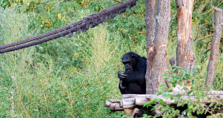 Affe Zoo Zoo Leipzig Animal Wildlife Animals In The Wild Ape Bonobo Day Grass Nature No People One Animal Plant Primate Schimpanse Sitting Tree Zoo Animals  Zoology