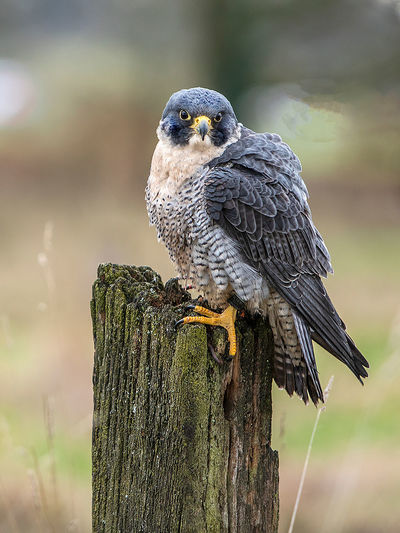 Close-up portrait of bird perching on wooden post