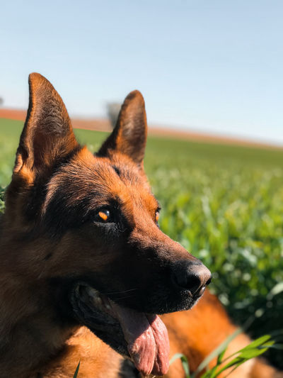 Close-up of dog looking away on field against sky