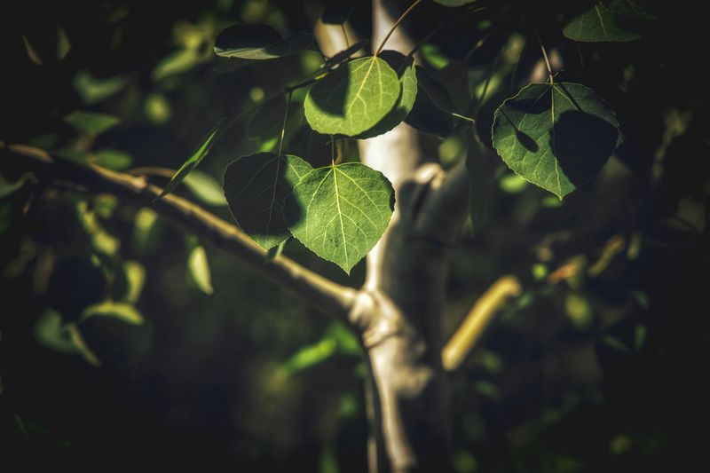 Aspen tree Aspen Trees Leaf Plant Part Plant Tree Green Color No People Close-up Growth Nature Focus On Foreground Selective Focus Branch Beauty In Nature Day Outdoors Sunlight Plant Stem My Best Photo