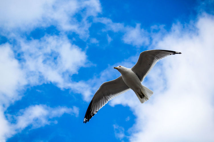 Seagull in the air Cloud Meer Möwe Animal Animal Wildlife Animals In The Wild Bird Blue Cloud - Sky Clouds Day Flying Gull Motion Nature No People One Animal Outdoors Sea Seagull Seemöwe Sky Spread Wings