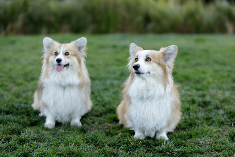 Two pembroke welsh corgi female puppies sitting and looking up