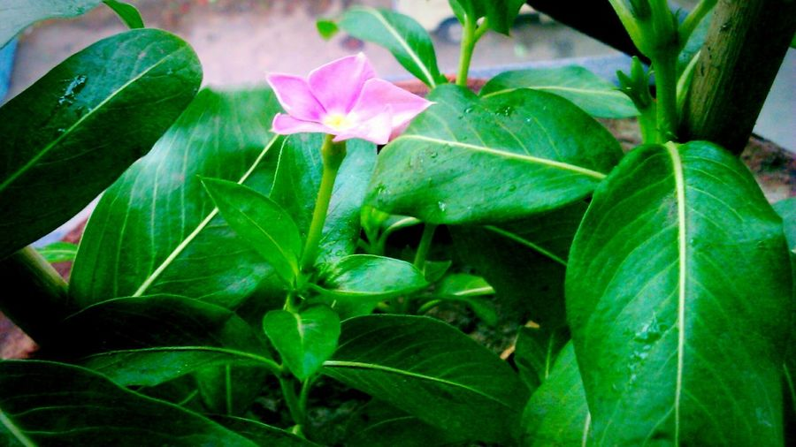Pink Flower Small Flower Flower Pink Green Leaves Green Symbol Of Love Symbol Of Hope Vibrant Colors Bright Natural Beauty Nature Protected Plant Colour Play Beloved FLOWERS & PLANTS