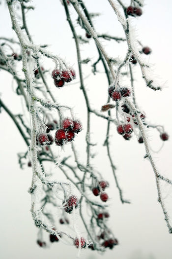 Beauty In Nature Berries Branch Close-up Cold Cold Temperature Contrast Day Freezing Freezing Cold Freshness Frost Growth Ice Nature No People Outdoors Red Snow Tree Winter Winter