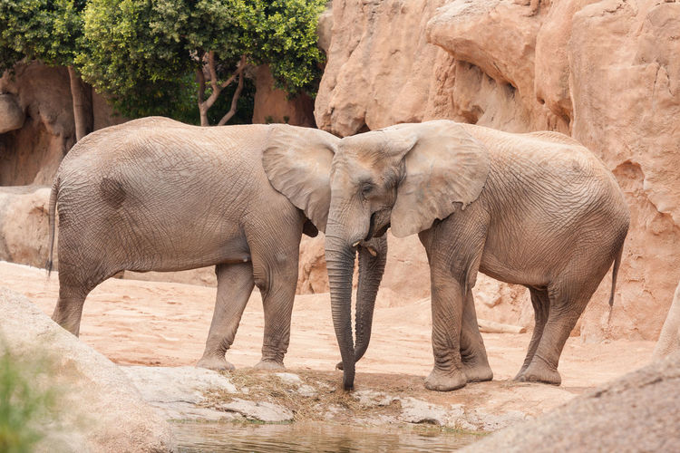 Two Elephants Near Water Puddle