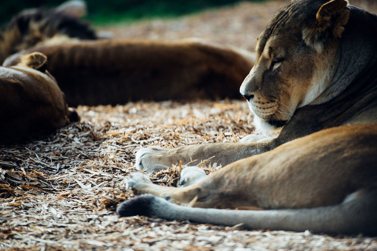 Lioness resting in forest