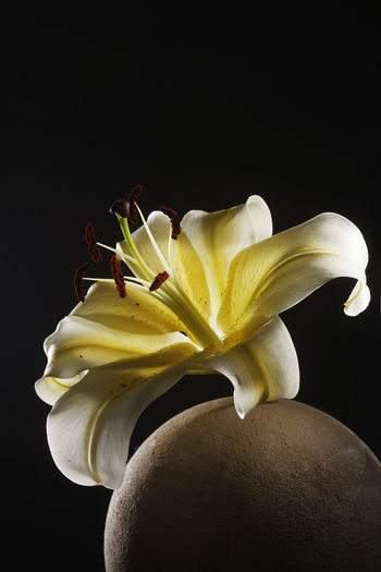 yellow lily on the round stone Flower Flowering Plant Freshness Plant Close-up Lily Lily Flower Floral Petal Nature Summer Blossom White Spring Decoration Color Flora Blooming Bright Bouquet Leaf Green Bud Single Object Pretty Elégance Art Inflorescence Flower Head Beauty In Nature Vulnerability  Fragility No People Growth Black Background Studio Shot Yellow Indoors  Copy Space Pollen Stone Zen Black Background