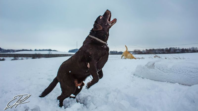 Happy Snow Day Cold Temperature Winter Animal Outdoors Frozen Pets Dog Snowing Labrador Raw DSLR Happiness Love Lightroom Canon Amazing Funnypictures Beauty In Nature Sky