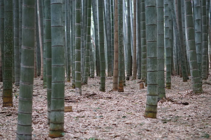 EyeEm Nature Lovers Beauty In Nature Bamboo Forest Nature Freshness Kyoto Arashiyama Japan Photography