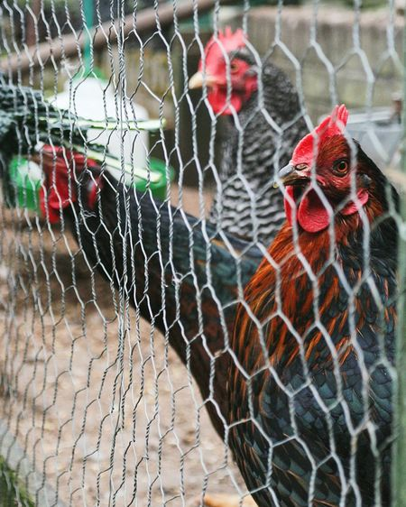 Close-up of hens in farm seen through fence
