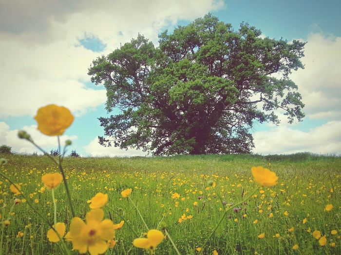 Yellow flowers growing in field against cloudy sky