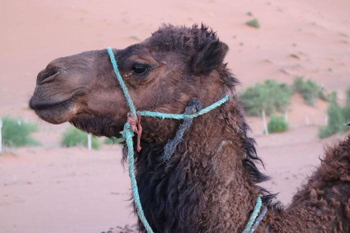 Animal Animal Body Part Animal Head  Animal Themes Camel Camel Head Close-up Desert Domestic Animals Focus On Foreground HEAD Mammal Shaggy